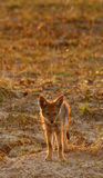 Black-backed Jackal cub Royalty Free Stock Images