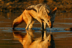 Black-backed Jackal drinking Stock Photo