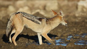 Black-backed Jackal drinking stock footage