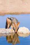 Black backed jackal drinking cool water Royalty Free Stock Photo