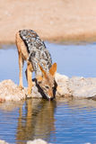 Black backed jackal drinking cool water Royalty Free Stock Photography
