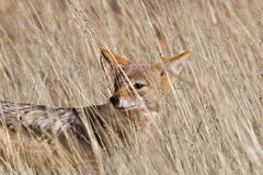 Black backed Jackal in dry grassland Royalty Free Stock Photo