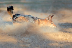 Black-backed Jackal in dust Stock Photos