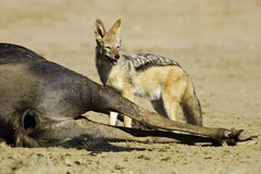 Black backed jackal eating dead wildebeest Stock Images