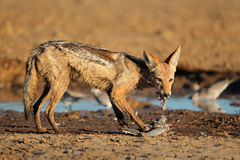Black-backed Jackal eating dove Stock Photos