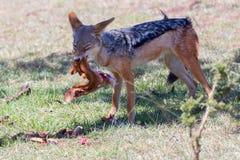 Black Backed Jackal Eating Impala Leg Stock Photo