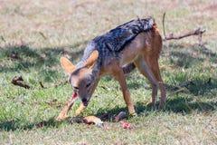 Black Backed Jackal Eating Impala Leg Stock Images