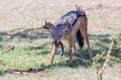 Black Backed Jackal Eating Impala Tail Royalty Free Stock Images