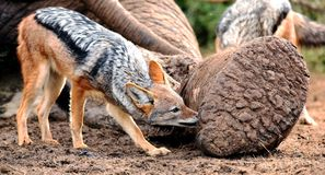 Black Backed Jackal at Elephant Carcass. Black backed jackal chewing at the carcass of a dead elephant Royalty Free Stock Photo