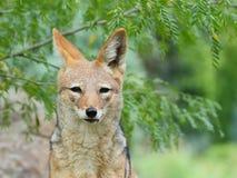 Black-backed jackal front portrait Stock Images