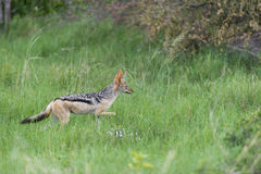 A black backed jackal in the grass Stock Photos