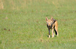 Black backed jackal in grass Stock Photos