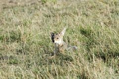 A black backed Jackal hiding in the grassland Royalty Free Stock Images