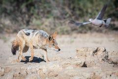 Black-backed Jackal hunting for birds stock photo