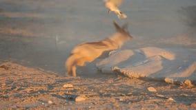 Black-backed Jackal hunting doves  stock video