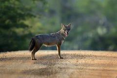 Black-backed jackal Stock Photography
