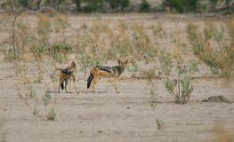 Black-backed Jackal with juvenile. Black-backed Jackal (Canis mesomelas) teaching its young to hunt on the arid plains of northern Botswana Stock Photography