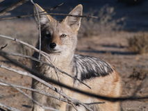 A black-backed Jackal in the Kgalagadi Park. A relative close up of a black-backed Jackal in the Kgalagadi Park in South Africa Royalty Free Stock Image