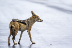 Black-backed jackal in Kruger National park, South Africa Royalty Free Stock Photography