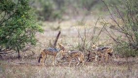 Black-backed jackal in Kruger National park, South Africa Royalty Free Stock Image