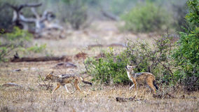 Black-backed jackal in Kruger National park, South Africa Royalty Free Stock Photography