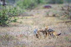 Black-backed jackal in Kruger National park, South Africa Stock Photography