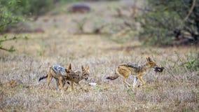 Black-backed jackal in Kruger National park, South Africa Stock Images