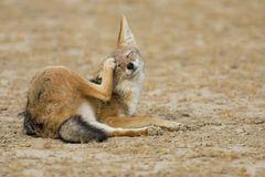Black Backed Jackal lay down to scratch an itch in Kalahari Stock Images