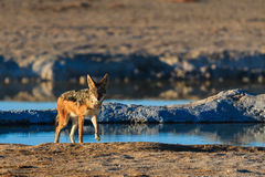 Black backed jackal leaving water hole Stock Images