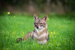 Jackal in the woods. Black backed jackal lies on the grass the middle of national park of Israel Stock Photography