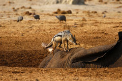 Black-backed Jackal looking forward to a big meal. African elephant died in a waterhole during the drought, Black-backed jackals feed from the carcase Stock Photo