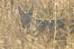 Black-backed jackal in mist Royalty Free Stock Images