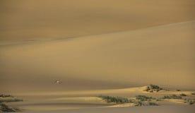Black-backed Jackal in the Namib desert Stock Photography
