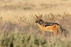 Black-backed jackal Namibia, africa safari wildlife. Black-backed jackal Canis mesomelas in natural habitat Etosha park, Namibia, Africa safari Wildlife royalty free stock photo