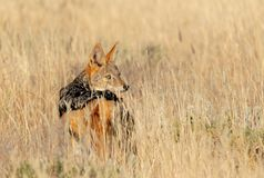 Black-backed jackal Namibia, africa safari wildlife. Black-backed jackal Canis mesomelas in natural habitat Etosha park, Namibia, Africa safari Wildlife royalty free stock photography