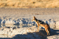 Black backed jackal observe water hole Royalty Free Stock Image
