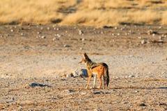 Black backed jackal observing salt pan Stock Photos