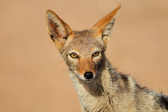 Black-backed Jackal portrait Stock Image