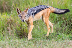Black Backed Jackal Posing In Masai Mara. A Black-backed Jackal, aka Silver-backed Jackal, posing, looking to camera, paw raised and bushy tail outstretched royalty free stock photography