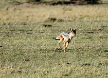 A black backed Jackal running Stock Photography