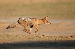 Black-backed Jackal running Royalty Free Stock Images