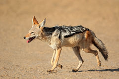 Black-backed Jackal running Stock Photos