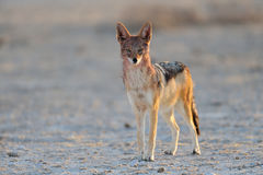 Black backed jackal in a salt pan Royalty Free Stock Photo