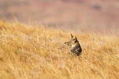 Black backed Jackal sat in dry grassland Stock Image