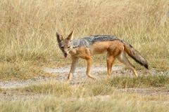 Black-backed jackal in savannah Royalty Free Stock Image