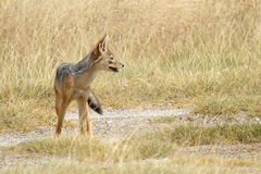 Black-backed jackal in savannah Stock Photography