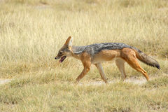 Black-backed jackal in savannah Royalty Free Stock Image