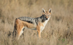 Black Backed Jackal, Savuti, Botswana Stock Photo