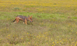 Black backed jackal scouting through wild flower field. Black backed jackal walking through a field of yellow flowers Royalty Free Stock Photography