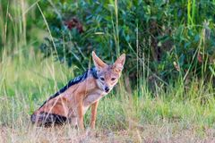 Black-backed Jackal scouts in the grass Royalty Free Stock Image